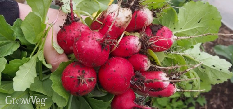 Radishes are fast-growing and super flexible
