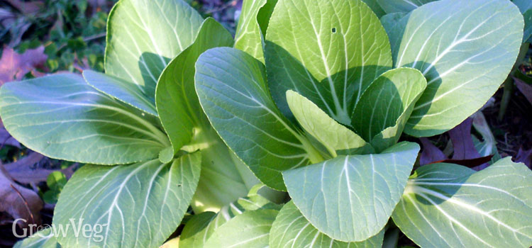 Pak choi (bok choy) in an autumn garden