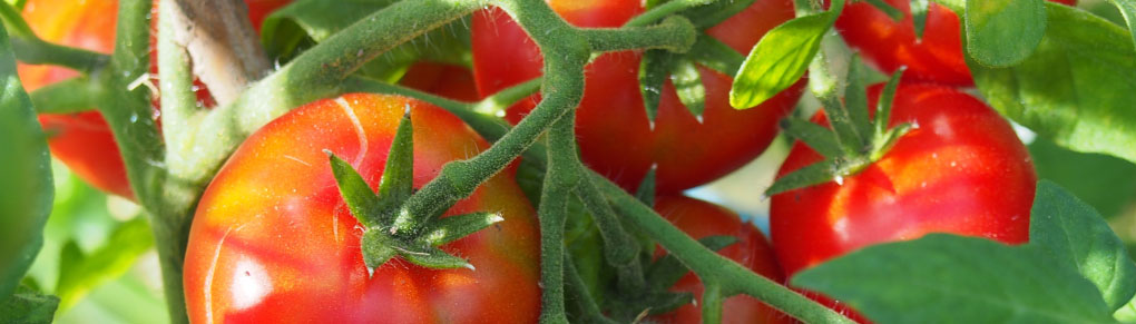 Choosing and Starting Tomatoes