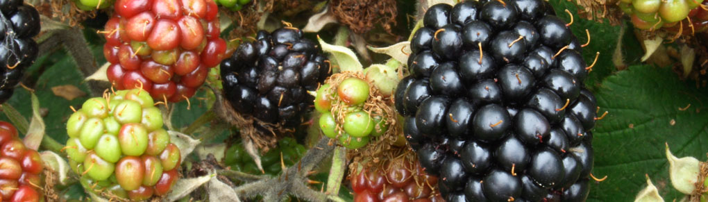 Easy-Peasy Soft Fruits for Beginners to Grow