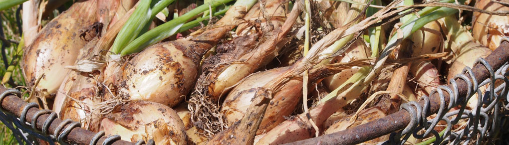 Getting Started with Shallots