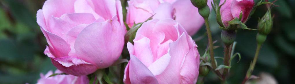 Grow a Healthy Rose