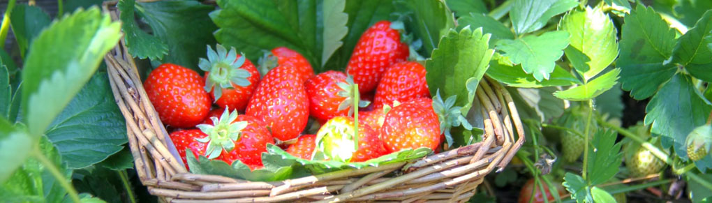 Growing Strawberries from Planting to Harvest