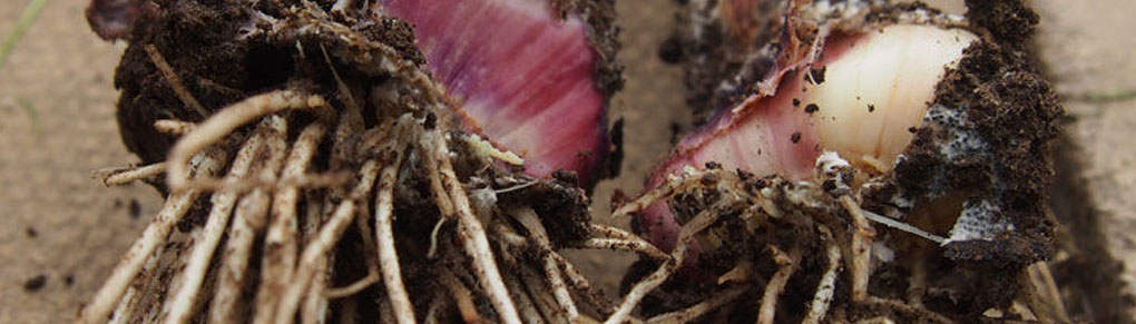 How to Control Onion White Rot