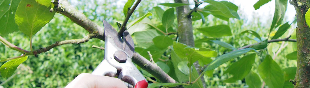 Keep Plum Trees Healthy and Productive With Summer Pruning