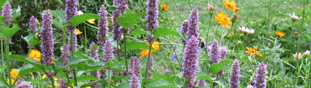 Lovely Lamiaceae to Enhance Your Edible Garden