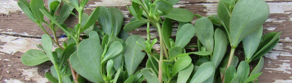 Purslane: One of the Tastiest Edible Weeds