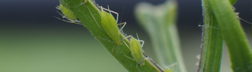 Say Adios to Aphids: 5 Organic Pest Control Techniques