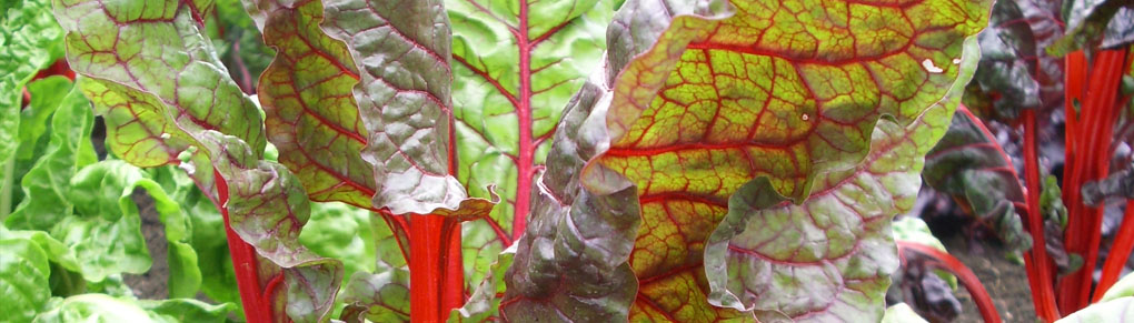 Swiss Chard: Rainbow Colours For Your Plate