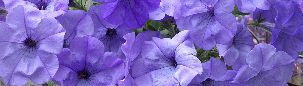 The Best Petunias to Grow From Seed