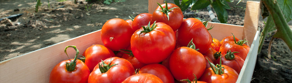 Troubleshooting Tomato Problems