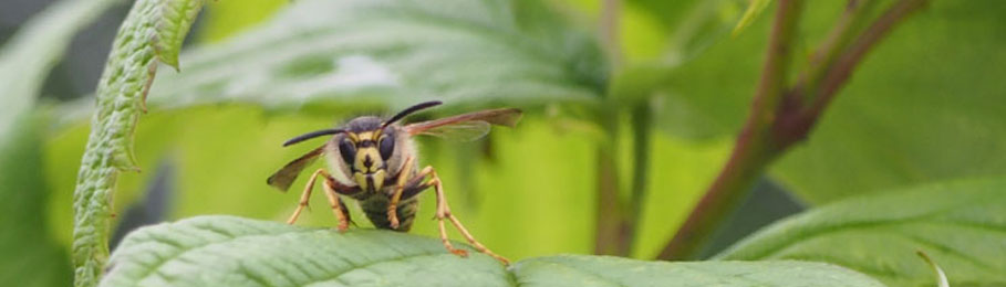 Why Wasps Are Good for Gardeners