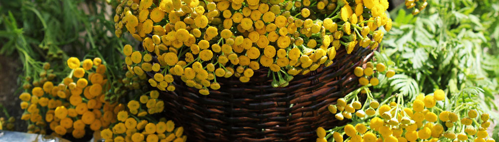Why You Should (and Shouldn't) Grow Tansy