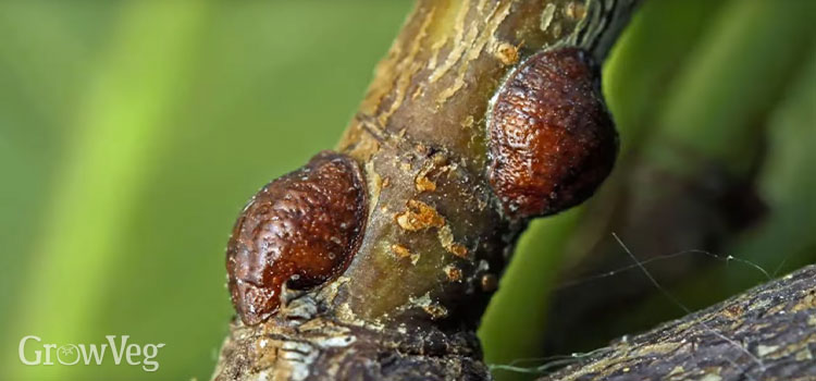 The bark on fruit trees offers hiding places for pests like scale insects